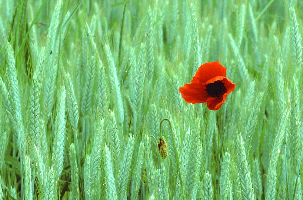 Red poppy in wheat field