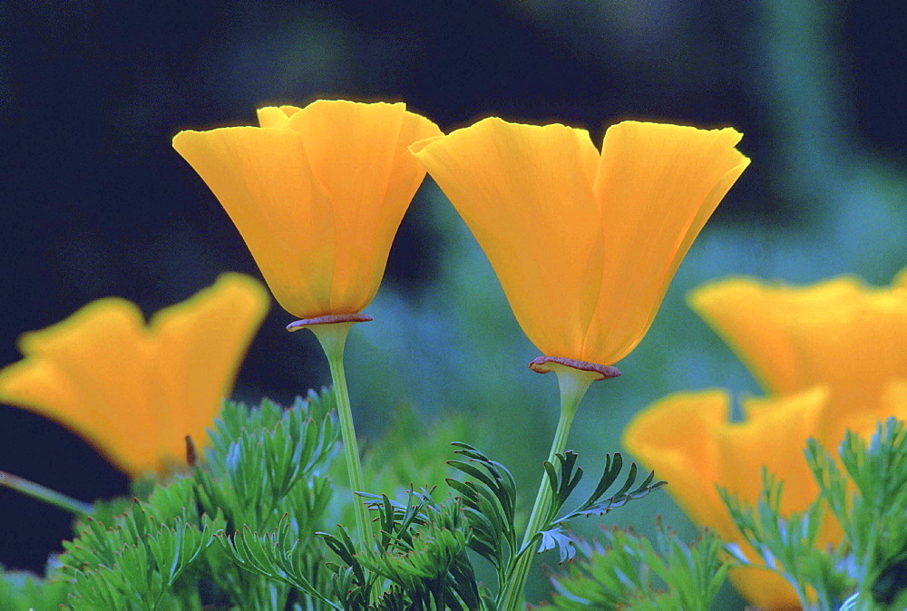 Californian poppy, eschscholtzia californica. Spring