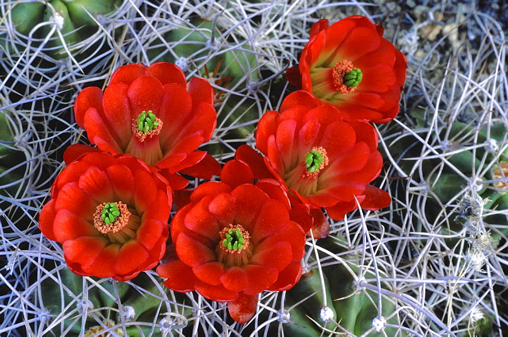 Claret cup cactus, echinocereus triglochidiatus. Close-up