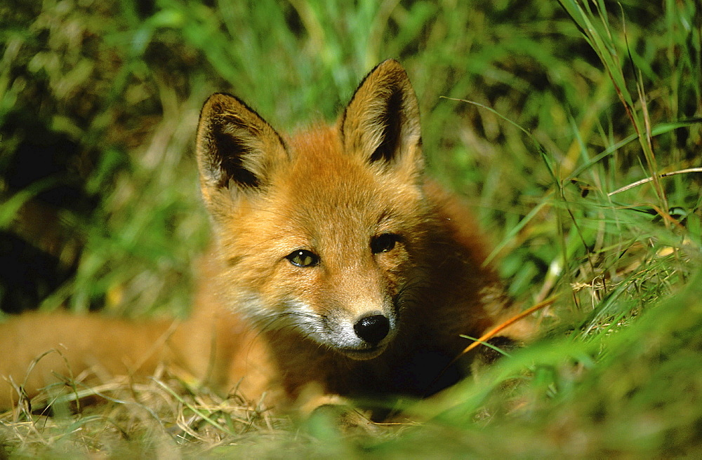 Red fox. Vulpes vulpes. Summer. Round island, walrus island state game sanctuary, alaska, usa. Restrictions: no greetings cards