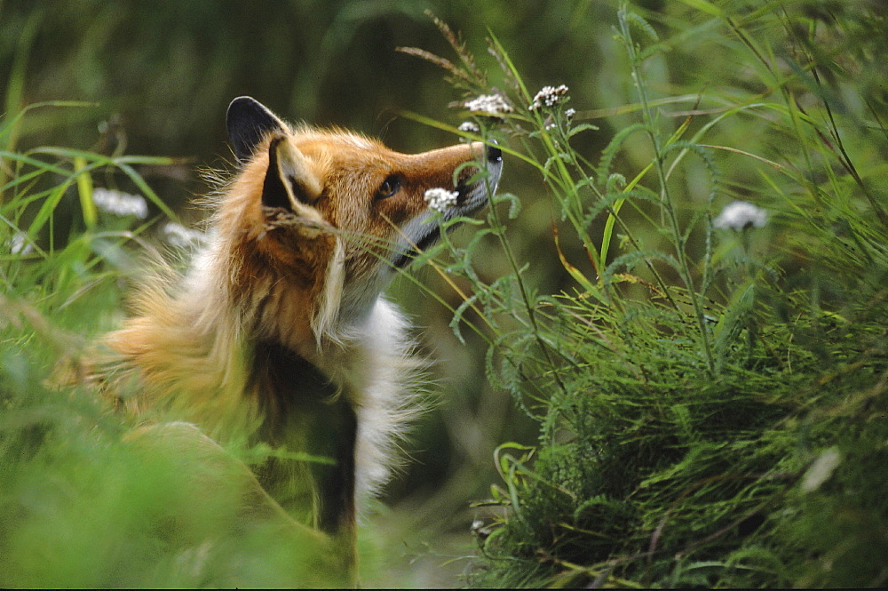 Red fox. Vulpes vulpes. Summer. Round island, walrus islands state game sanctuary, alaska, usa