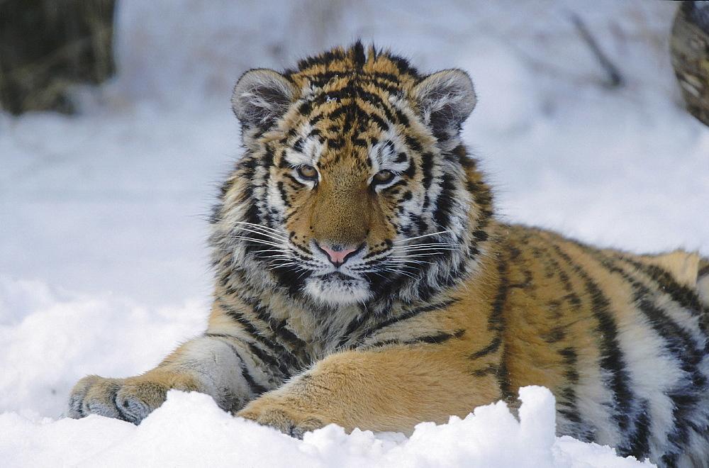 Amur tiger. Panthera altaica. Captive. Portrait of one year old tigern (called cotto) in snow,winter. Zoo zurich, zurich, switzerland