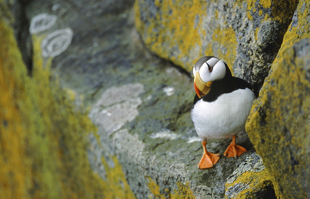 Horned puffin. Fratercula corniculata. Round island, walrus islands state game sanctuary alaska, usa
