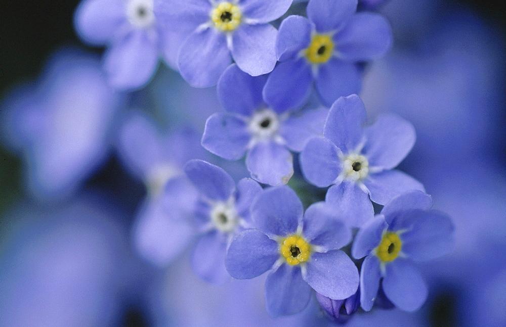 Alpine flora, italy. Alpine forget-me-not. Myosotis alpestris. Dolomites; south tyrol; italy