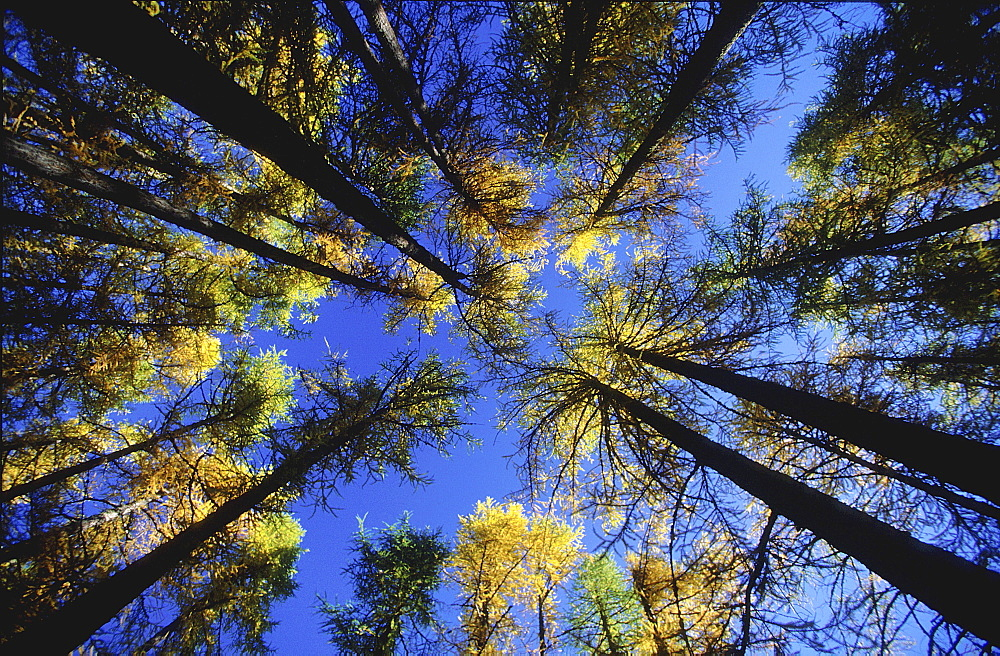 Larch, larix decidua, laerchen,switzerland, graubuenden,engadin, swiss, autumn