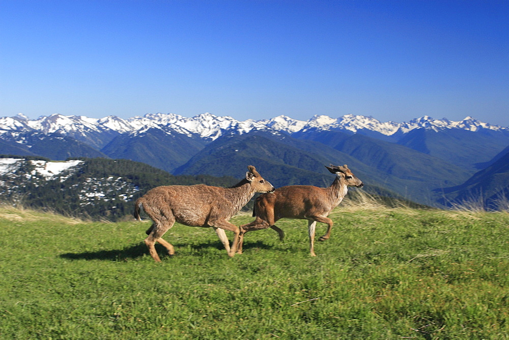 Columbian black-tailed deer, odocoileus hemionus columbianus, young males. Hurricane ridge, olympic national park, washington