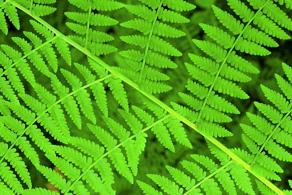 Bracken fern, pteridium aquilinum, valley, olympic national park, washington