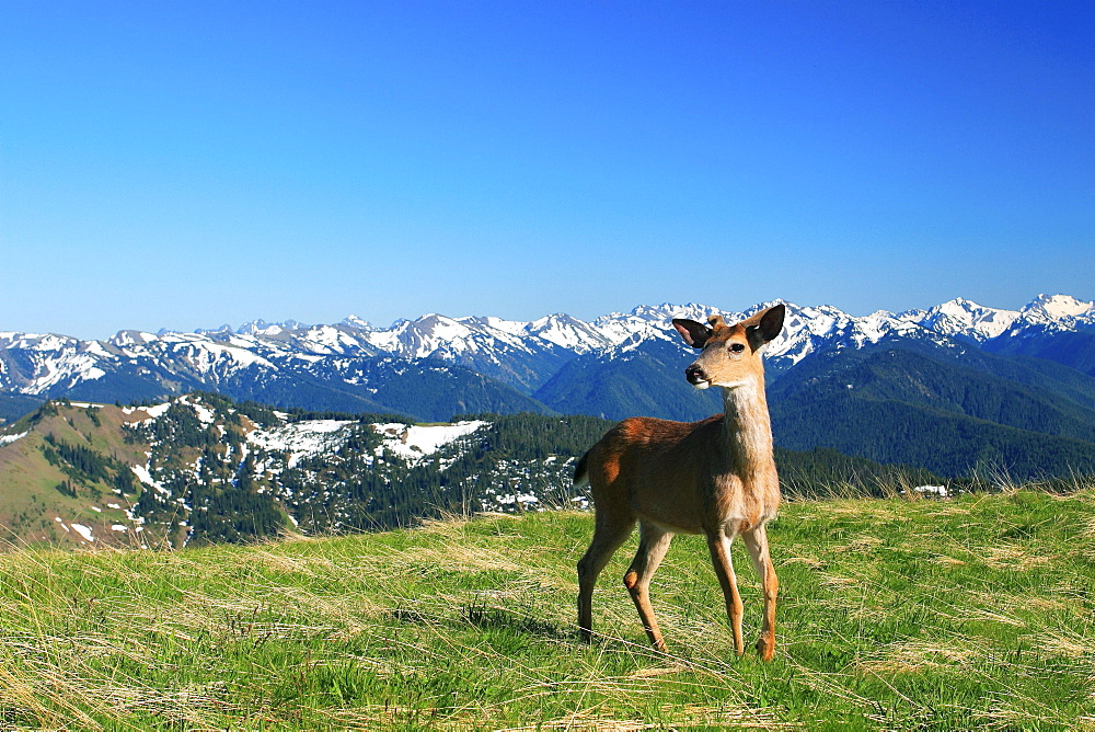 Columbian blacktailed deer, odocoileus hemionus columbianus, hurricane ridge, olympic national park, washington
