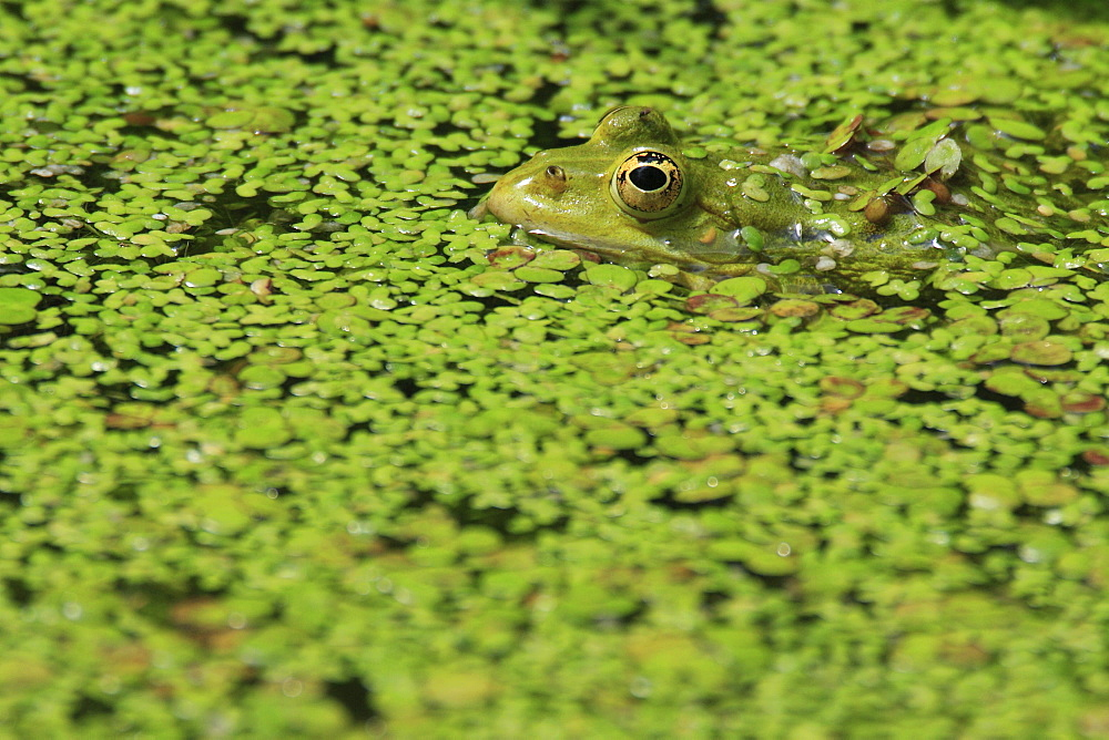 Common pool frog, water frog, rana esculenta, spring, in pond, oetwil am see, zuerich, switzerland