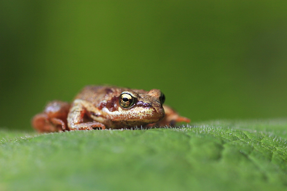 Common frog, rana temporaria, young frog, sitting on leaf, glarus, switzerland