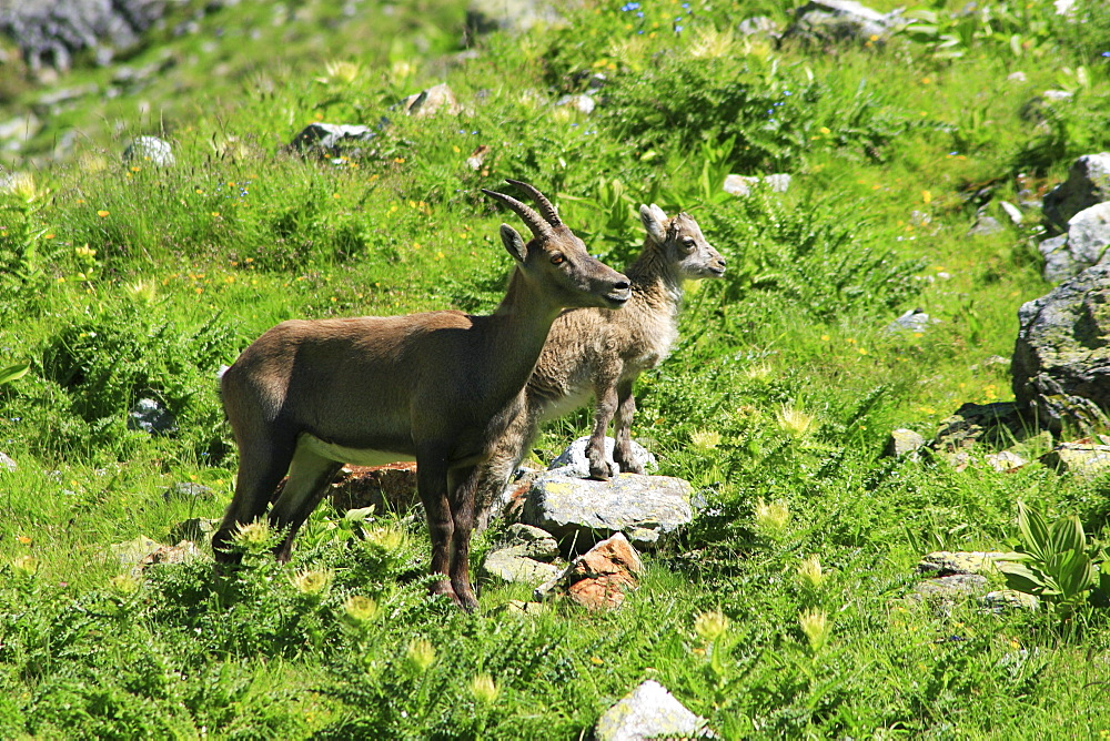 Ibex, capra ibex, steinbock, mother with baby, swiss alps in summer, uri, switzerland
