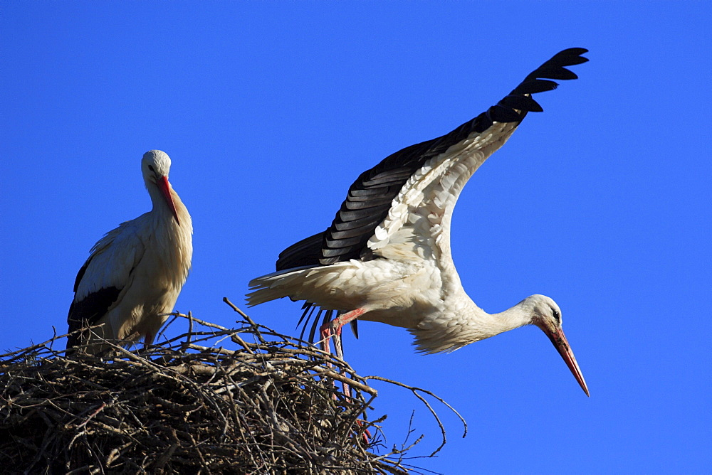White stork, ciconia ciconia, couple standing in its nest, spring, oetwil am see, zuerich, switzerland
