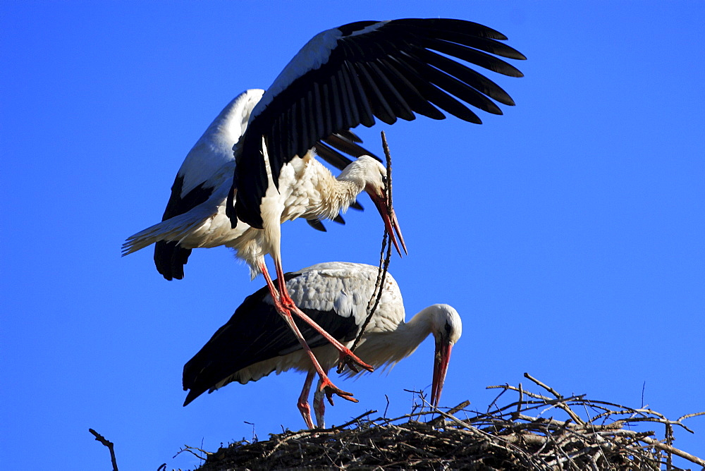White stork, ciconia ciconia, couple building its nest, spring, oetwil am see, zuerich, switzerland