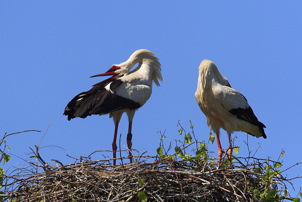 White stork, ciconia ciconia, couple standing in its nest, courtship, spring, oetwil am see, zuerich, switzerland