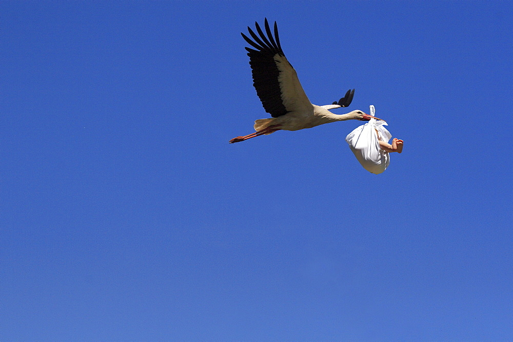 White stork, ciconia ciconia, in flight, with baby in its beak, bringing offspring, baby child,  composition