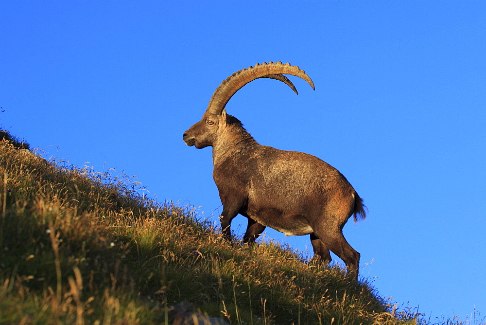 Swiss alps in summer, ibex, capra ibex, steinbock, appenzell, switzerland