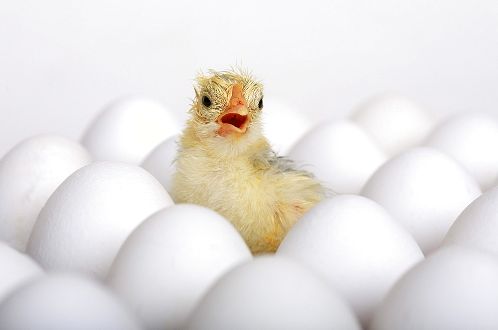 Baby chick, freshly hatched sitting on eggs, studio, switzerland