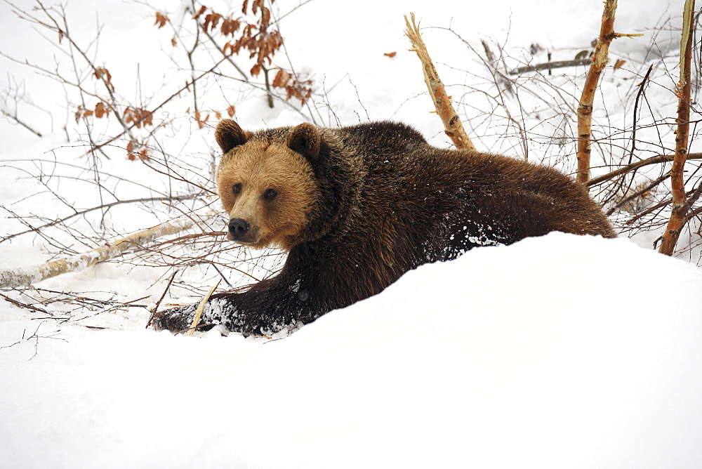 Brownbear, european brownbear, bear, ursus arctos, in winter, national park bayrischer wald, germany, captiv