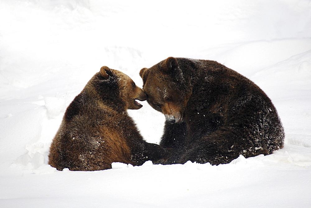 European brownbear, ursus arctos, in winter, national park bayrischer wald, germany, captiv