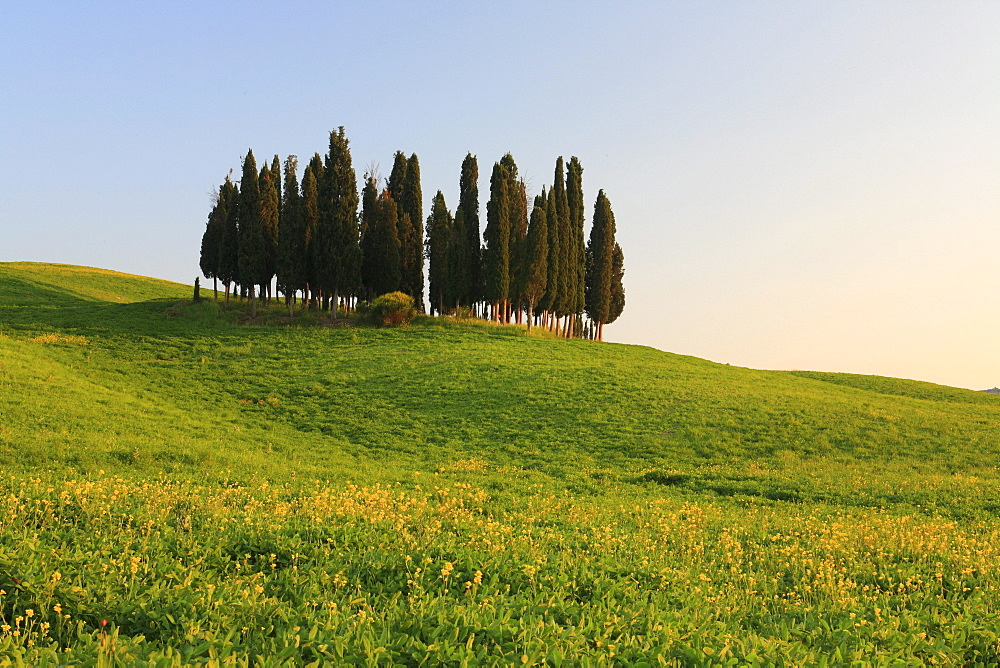 Cypress, italian cypress, cupressus sempervirens, rape, hill countryside, agricultural landscape, tuscany. italy