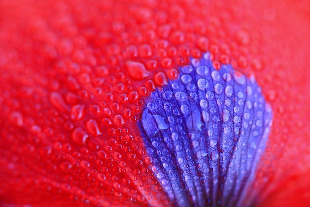 Red poppy / corn poppy, papaver rhoeas, spring, tuscany, italy - 1190-473