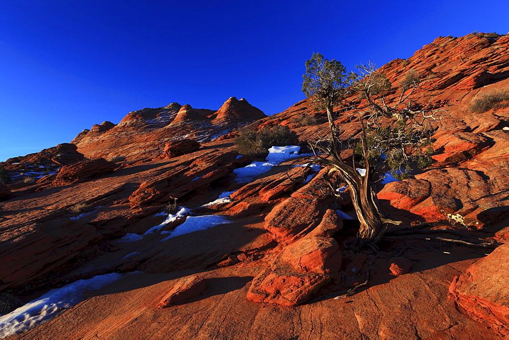 Coyote buttes north, juniper tree, juniperus, wacholder baum, sandstone formed by wind and water, paria wilderness area, arizona, usa