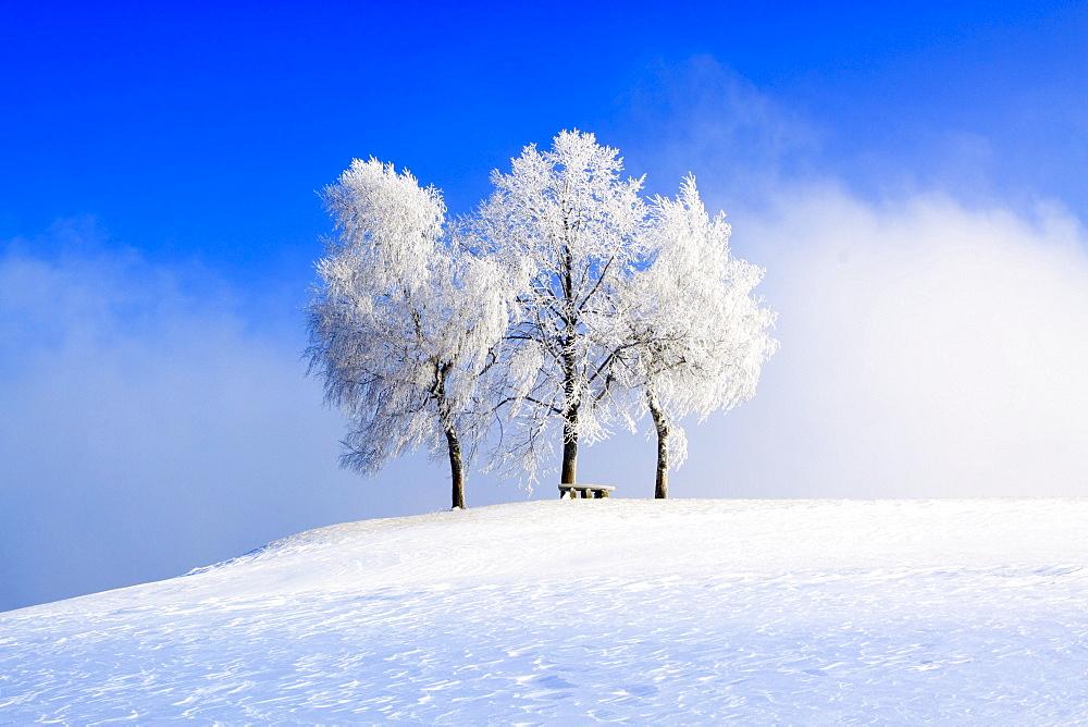 Baumgruppe, Zuercher Oberland, Schweiz