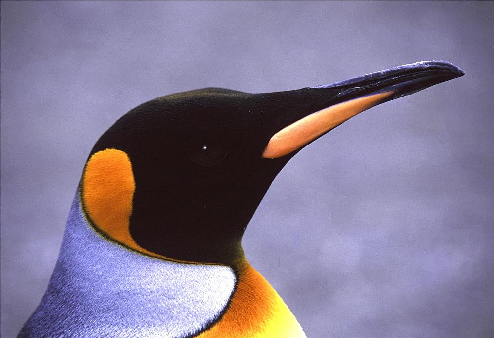 King penguin. Aptenodytes patagonica. South georgia, antarctica