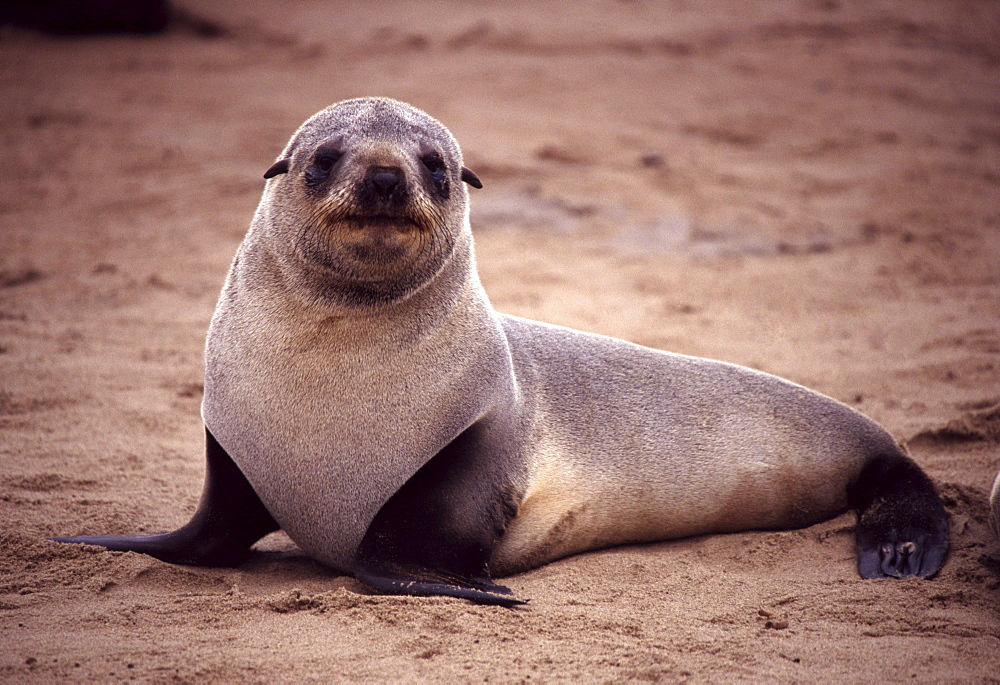 Young cape fur seal. Arctocephalus pusillus. Cape cross, atlantic coast, namibia