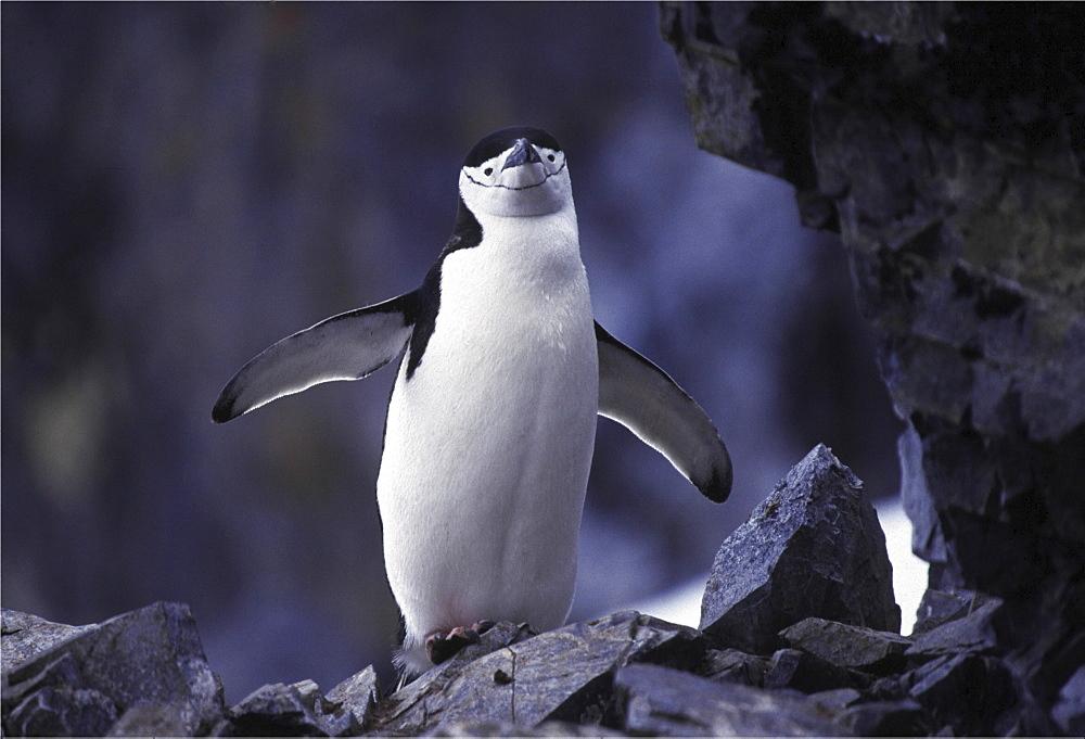 Chinstrap penguin. Pygoscelis antarctica. In rocky colony. Antarctica