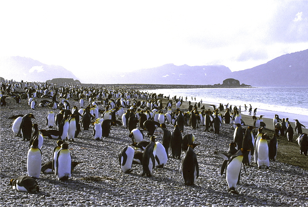 King penguin. Aptenodytes patagonica. On shore-line, salisbury plain. South georgia, antarctica