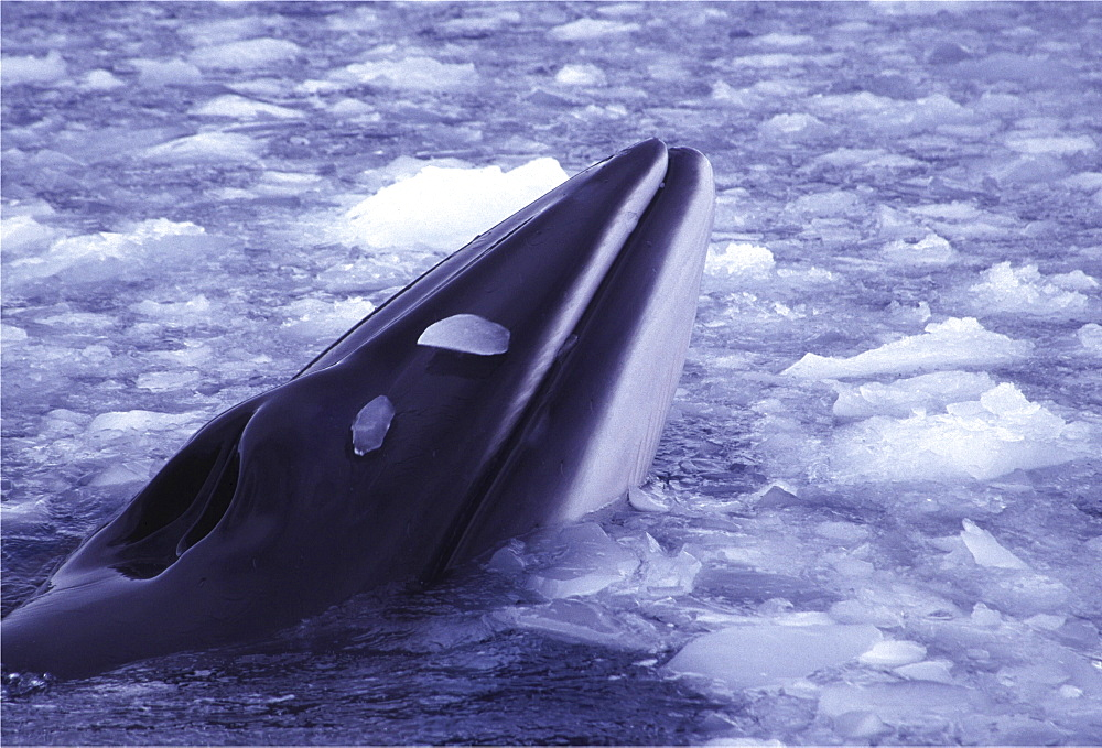 Minke whale. Balaenoptera acutorostrata. Minke whale in brash ice, danko bay, antarctica - 1191-7