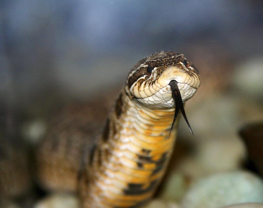 Arkiv 040201, hog noses snake (heterodon nasicus) plays dead if destrurbed. usa
