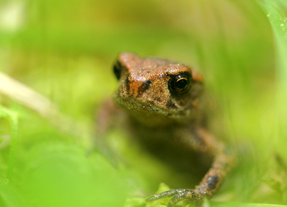 A young toad, 13 mm in the grass, europe