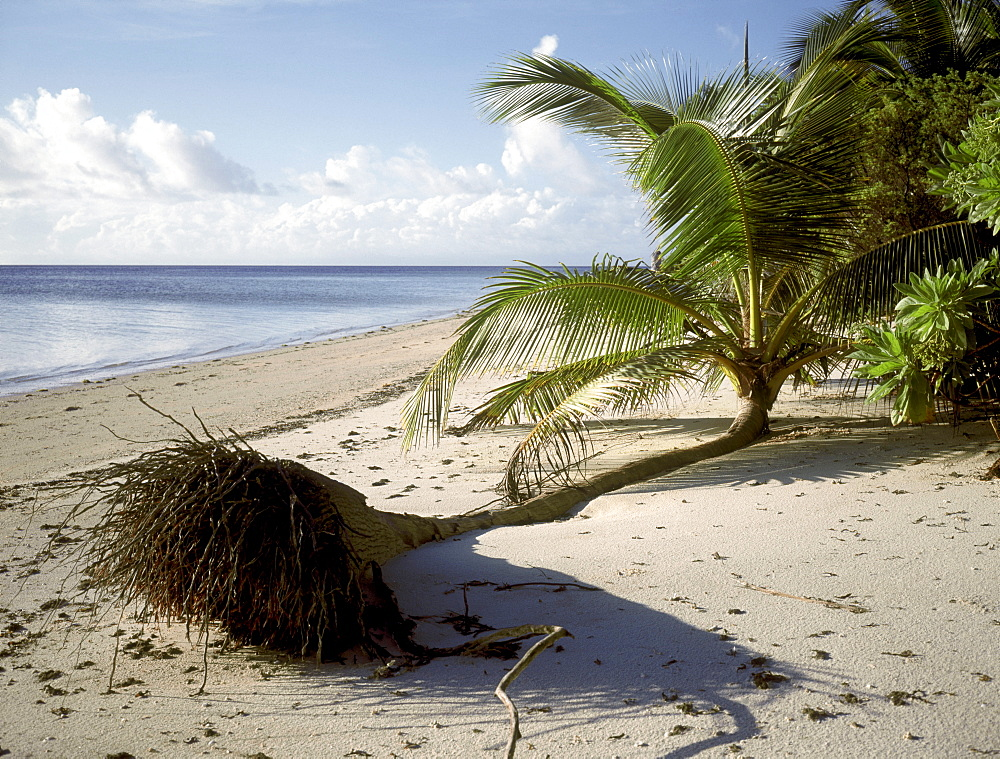 A coconut palm has fallen on the beach due to erosion. providence island, seychelles