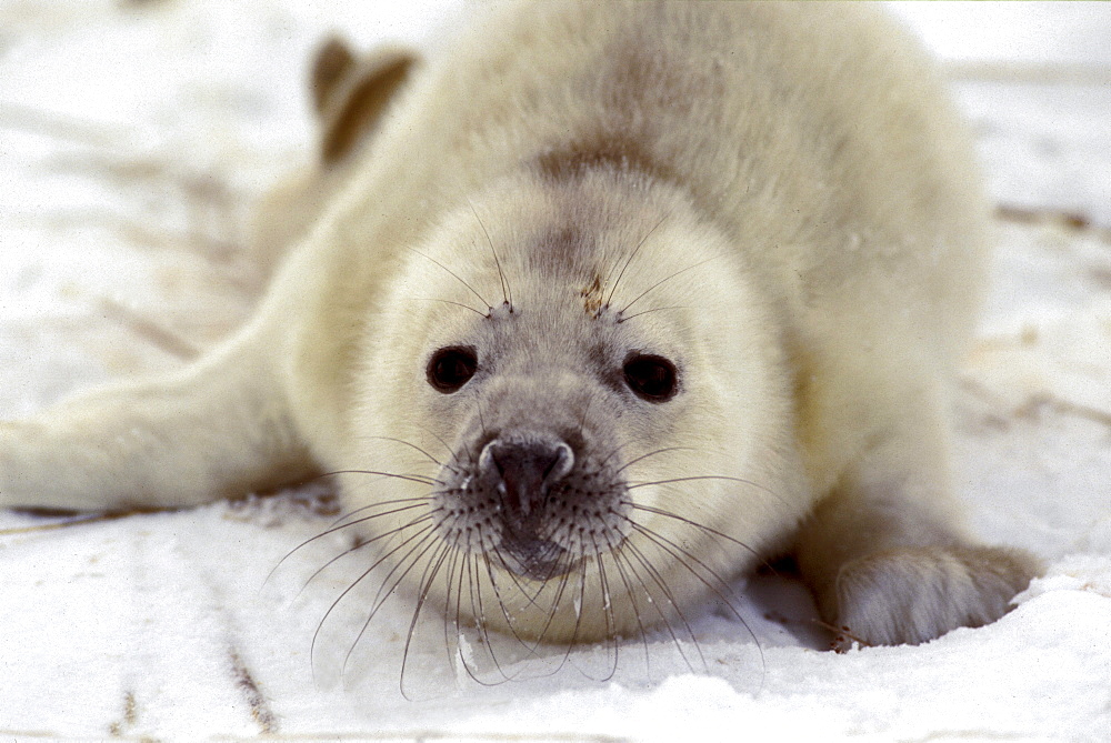 A three day old grey seal pup on the ice