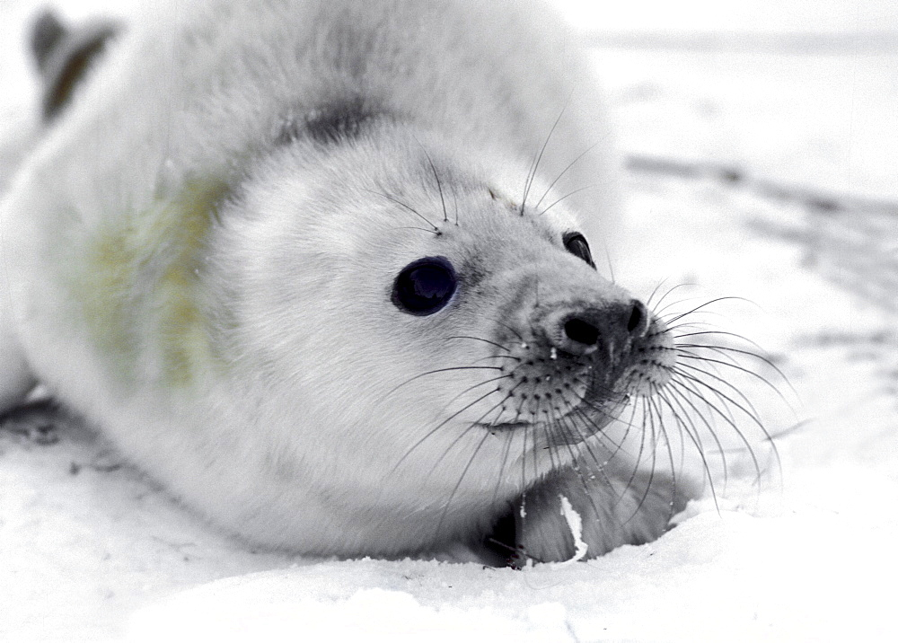A five days old grey seal pup on the ice