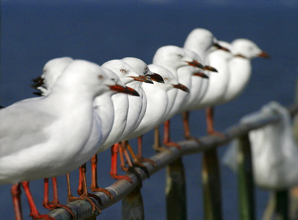 Gulls resting on the pier. wa. australia
