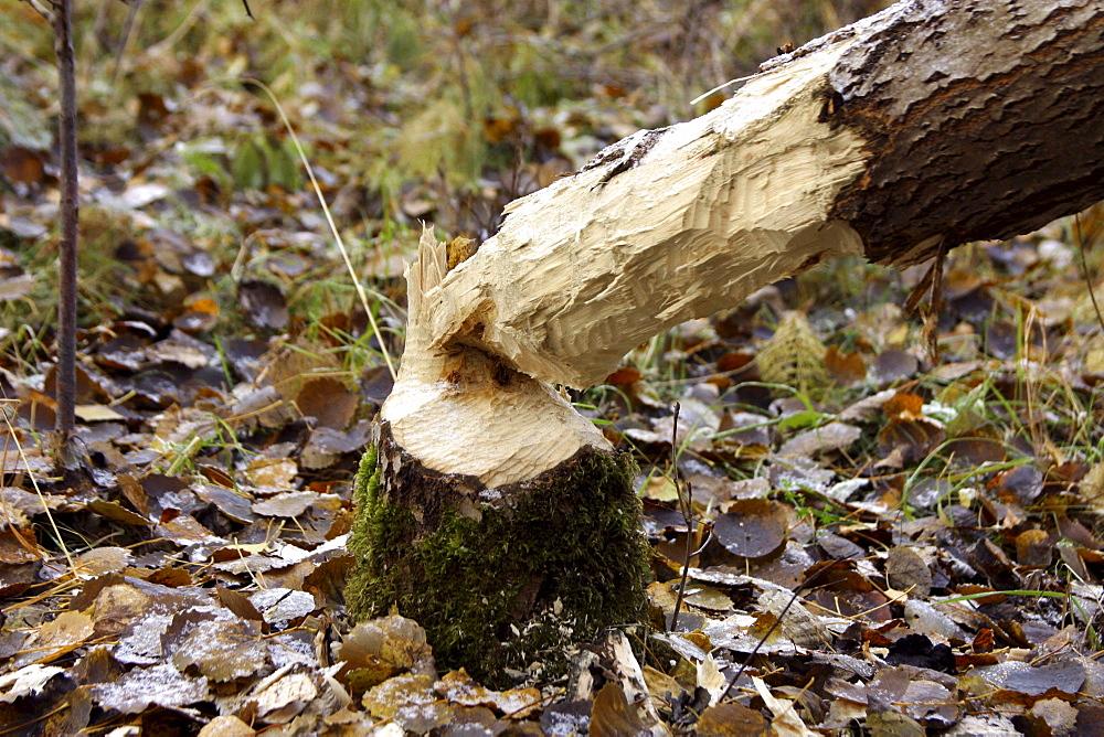 Beaver gnaw on aspen, sweden
