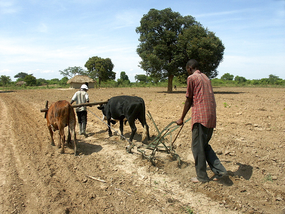 Zambia man using the mugoye ripper (an alternative to the plough) which has less destructive impact on the soil. Near lusaka