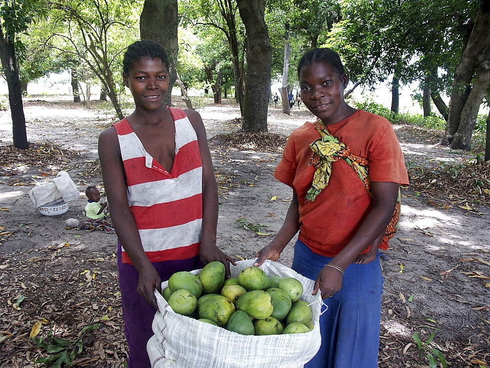 Zambia young women harvesting mangoes. Mongu