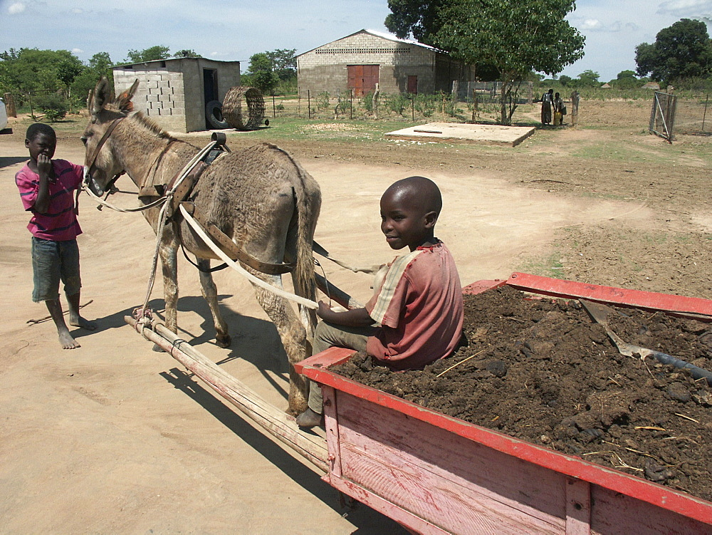 Zambia boys pulling a cart of compost, near lusaka
