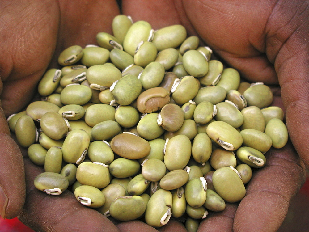 Zambia green velvet beans, help promote soil fertility & edible if prepared