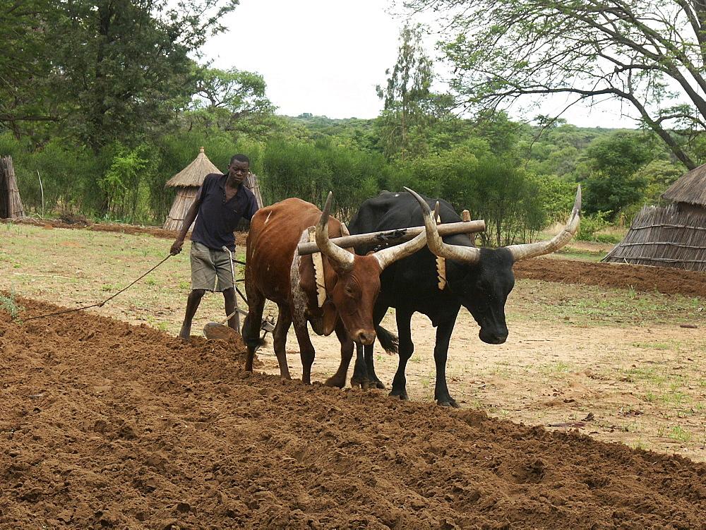 Zambia farmer ploughing field, shangombo