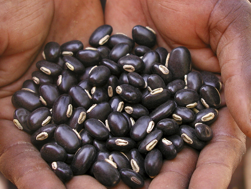 Zambia black velvet beans, improves soil fertility & edible if prepared