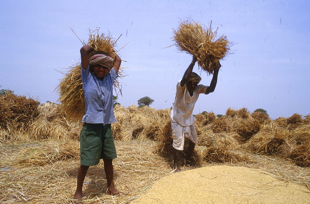 India - farming: threshing rice, andhra pradesh