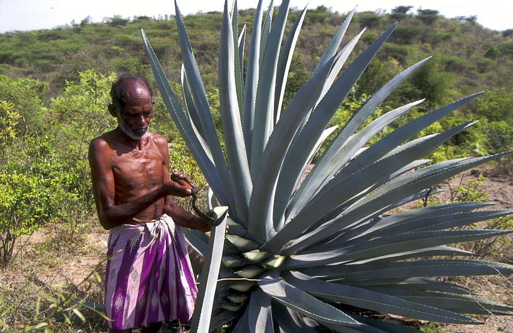 India - farming - health: man harvesting wild succulent plant for herbal medicine