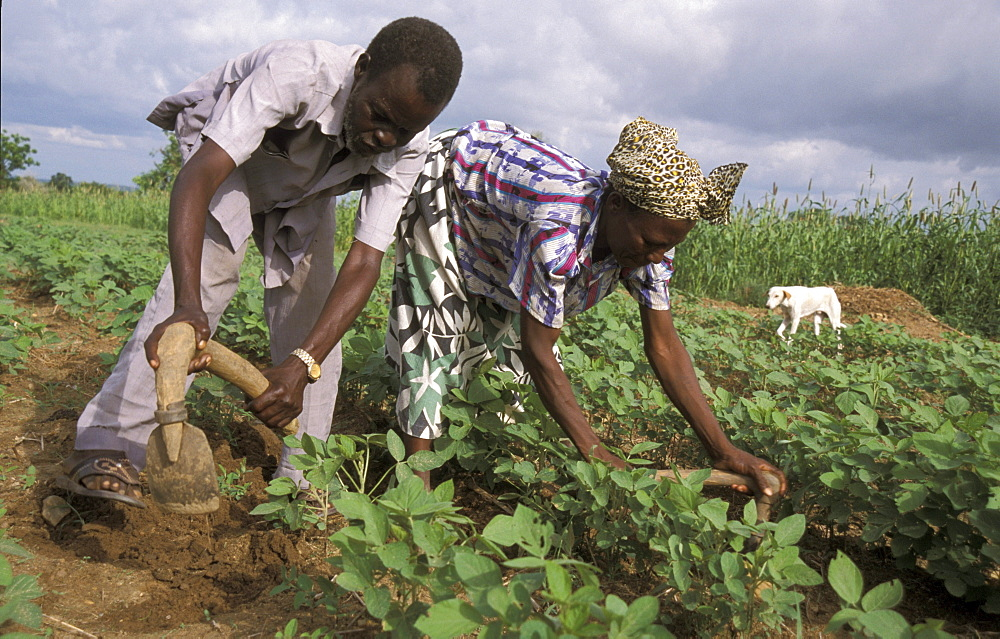 Ghana farmers of bongo, bolgatanga cultivating beans are beneficiaries of a protein nutrition project