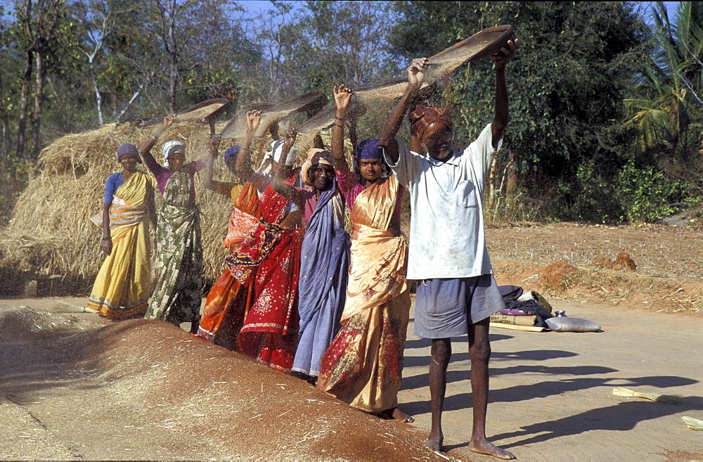 India nrarayanappa, front,threshing finger millet harvest, krishnapura village, kolar district, karnataka