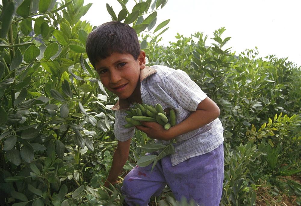 Palestine boy harvesting broad beans ithna